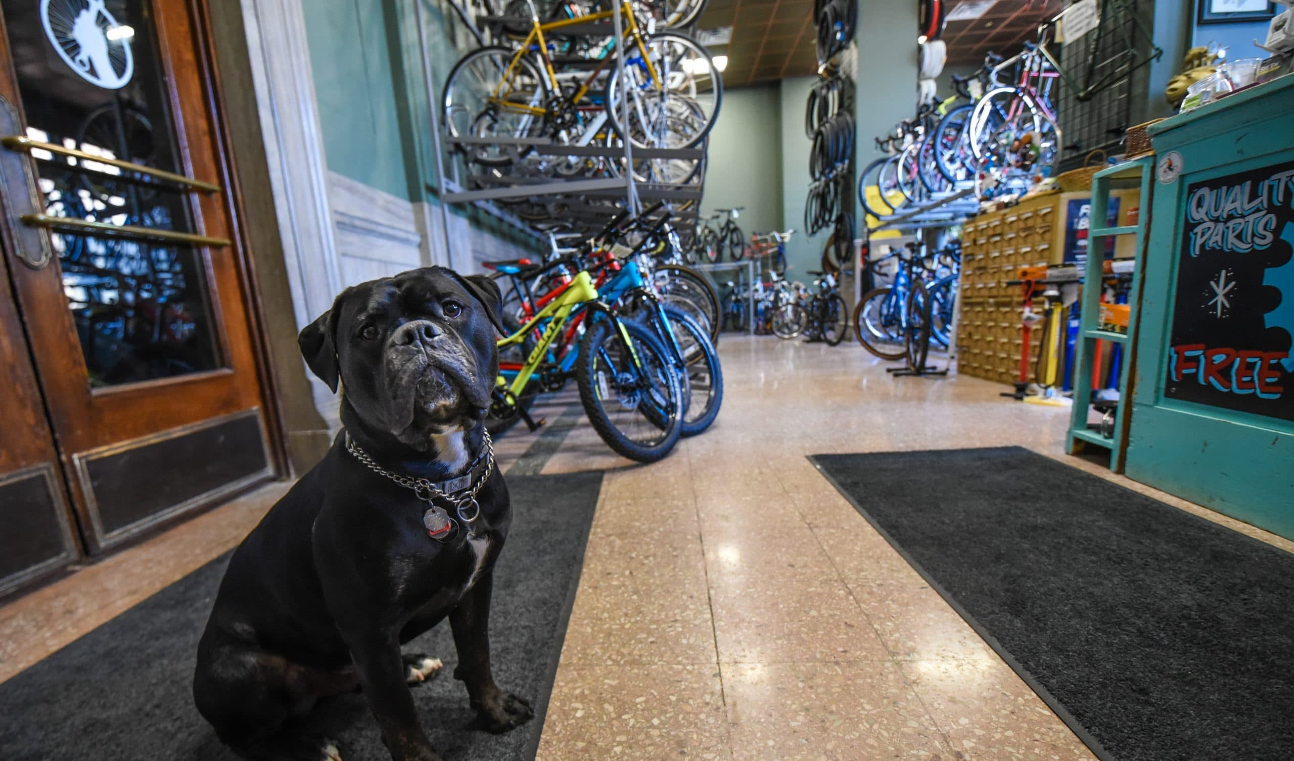 Dog in front of bikes in shop